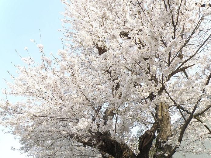 名は櫻物の見事に散る事よ (夏目漱石): 大熊町立大熊中学校(H23 ...